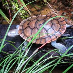 Why, hello there Mr turtle. Queensland Australia, Old Photos, Turtle, Island, Instagram Posts, Old Pictures, Turtles, Vintage Photos, Tortoise