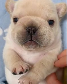 Real, English Bulldogs are known to be persistent, however they actually aren't hard to train . Potty training a Bulldog young puppy will appear lik. Cute Little Animals, Cute Funny Animals, Cute Cats, Cute Animal Videos, Cute Animal Pictures, Easter Pictures, Cute Dogs And Puppies, Baby Dogs, Cute Small Dogs