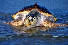 Sea turtles mexico | ... word for turtle there are seven species of sea turtle in the world