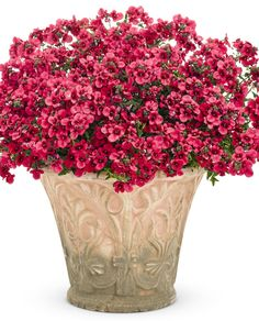Flying Colors Red Diascia provides charming flowers, and blooms profusely all season; great for early spring color with very low maintenance needed.