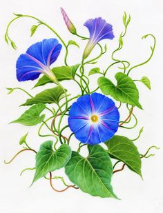 Summer Flowers — Botanicals by Karen Kluglein Morning Glory Morning Glory Tattoo, Blue Morning Glory, Morning Glory Flowers, Watercolor Sunflower, Watercolor Flowers, Watercolor Art, Botanical Drawings, Botanical Illustration, Botanical Flowers