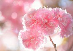 八重桜   by myu-myu