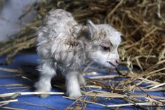 15 Of The Most Adorable Newborn Animals Newborn Animals, Cute Baby Animals, Animal Babies, Cute Goats, Barnyard Animals, Baby Goats, Cute Little Baby, Animals Of The World, Nature Animals