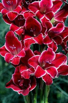 Gladiolus 'Christmas Orchid'