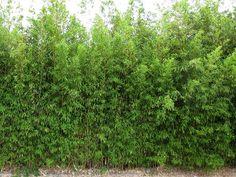 Blickdichte Hecken aus Bambus kaufen im Bambus-Shop | BAMBUSBÖRSE