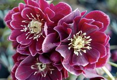 Helleborus Winter Jewels 'Amethyst Gem'