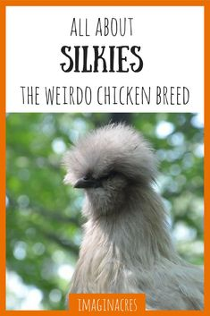 Silkie chickens are pretty well known for being the weirdos of the poultry world. These lovely birds have a lot of weird traits, read about them here!