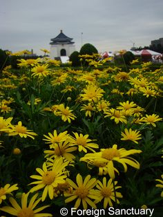 Beautiful Yellow Flowers with Chiang Kai-Shek Memorial Hall in the Background - Taipei, Taiwan -----> Keeping My Bearings in Taipei – Thanks to CKS Memorial Hall  [A Blog Post: http://foreignsanctuary.com/2013/11/07/keeping-my-bearings-in-taipei-thanks-to-cks-memorial-hall/]