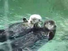 Otter couple on vacation holding hands floating around the pool.