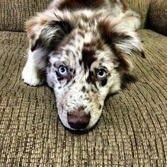 Australian Shepherd---I need this puppyyyy!!!