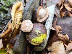 Foraging Wild Hickory Nuts- I love doing this!!!! so much fun, but sucks when there are worms in them :/