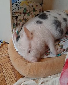 Cute Baby Pigs, Cute Piglets, Animals And Pets, Baby Animals, Cute Animals, Pet Pigs, Guinea Pigs, Pig Showing, Miniature Pigs