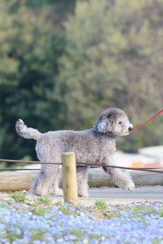 walking in the #nemophila field #toypoodle #silverpoodle