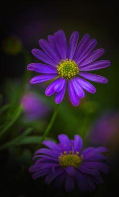 ~~Gänseblümchen | Purple Daisy by Michael Klotz~~