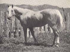 Plaudit; 1930; Palomino Stallion; (King Plaudit x Colorado Queen by Old Nick); Bred by Tom Mills of Meeker, CO.
