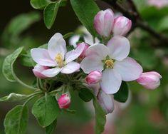 Apple Blossoms Apple Blossom Flower, Apple Flowers, Peach Blossoms, Spring Blossom, Apple Blossoms, Flowers Nature, Spring Flowers, Amazing Flowers, Beautiful Flowers