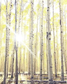 So alive & cheerful Birch Tree Art, Birch Forest, Glam Bedroom, Slow Living, Lens Flare, Lost & Found, My Happy Place, Aspen, Impressionism