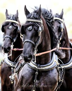 Work Horses, Black Horses, All The Pretty Horses, Beautiful Horses, Horse Harness, Horse Facts, Horse Carriage, Majestic Horse, Friesian Horse