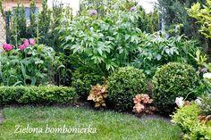 Zielona bombonierka: Bukszpan z własnych sadzonek
