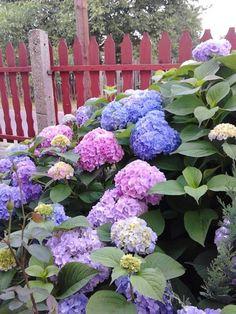 Garden Design, House Design, Backyard, Landscape, Flowers, Plants, Hydrangeas, Iris, Gardens