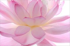 Lotus Flower Petals, by Bahman Farzad