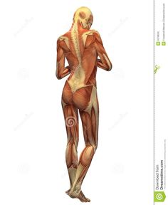 Human Body Picture With Organs Human Anatomy Study Pinterest