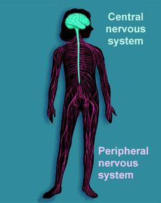 Peripheral Nervous System - The sensory and motor neurons that connect the central nervous system to the rest of the body. Nervous System Anatomy, Brain Nervous System, Peripheral Nervous System, Central Nervous System, Human Body Organs, Human Body Systems, Ap Psych, Motor Neuron