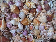 Today's Featured Writer: Laura Hoot from HomeAway! Top 10 Florida Beaches for Seashells Look no further than Florida for some of the best seashell collecting in the country. Throughout the Su… Florida Vacation, Florida Travel, Florida Beaches, Vacation Trips, Vacation Spots, Vacation Ideas, Dream Vacations, Florida Trips, Vacation Travel