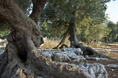 monumental olive trees - Cerca con Google