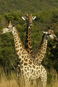 "alecsgrg: "" 3 headed giraffe. cute lol. by Rudi """