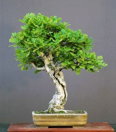 English oak (Quercus robar)