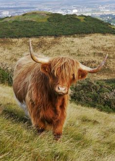 If you haven't heard Harry Cow in a Scottish accent you haven't lived Scottish Highland Cow, Highland Cattle, Scottish Highlands, Cute Baby Animals, Farm Animals, Animals And Pets, Beautiful Creatures, Animals Beautiful, Fluffy Cows