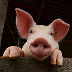 Curious piggy Shot with a sigma Happy Animals, Animals And Pets, Funny Animals, Cute Animals, Farm Animals, Cute Baby Pigs, Cute Piglets, Pig Art, Pig Farming
