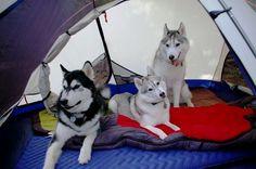 Camping with Siberian #Huskies #siberianhusky