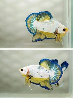 One of the coolest halfmoon plakat betta fish I have seen. Even UNK colors! Pretty Fish, Cool Fish, Beautiful Fish, Beautiful Creatures, Animals Beautiful, Cute Animals, Colorful Fish, Tropical Fish, Poisson Combatant