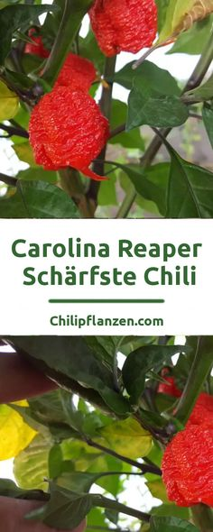 Im November 2013 löste Carolina Reaper die damalige Rekordhalterin Trinidad Moruga Scorpion als schärfste Chili der Welt ab. Bei der Carolina Reaper liegt der Gehalt an Capsaicin auf dem Niveau von Pfefferspray. Im Labor wurde im Durchschnitt 1.569.300 auf der Scoville Skala (SHU) gemessen. Einzelne Chilischoten kamen sogar auf 2,2 Millionen SHU. Trinidad, Strawberry, Chilis, Fruit, November, Food, Pepper, Hang In There, Easy Meals