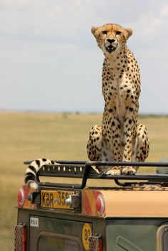 A cheetah searching the plains of the Masai Mara for her next meal. This Land Rover will do.