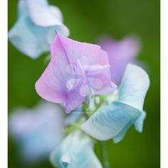 Image result for construction of sweet peas