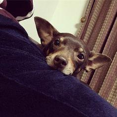おやすみなさい😪💤 #おやすみ#おやすみなさい#可愛い#かわいい#癒し#天使#好き#愛犬#犬#ペット#男の子#ミニピン#ミニチュアピンシャー#dog#love#cute#healing#angel#pet#boy#minipin#goodnight