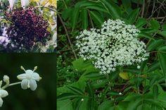 WakingTimes – 52 Wild Plants You Can Eat – 17 April 2013 | Lucas 2012 Infos