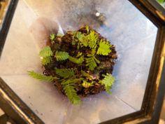 Resurrection Ferns -Live Terrarium Plants or Amphibian, Reptile Cage Foliage