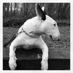 bull terrier.............