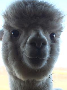 Smiling alpaca...