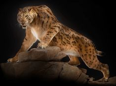 Life reconstruction of Megantereon, an extinct saber-tooth cat that lived in North America, Eurasia, and Africa from the Miocene to the Pliocene. (Natural History Museum of Basel) Jurassic World, Cat Pose, Extinct Animals, Prehistoric Creatures, Animal Facts, Mundo Animal, Animal Sketches, Fauna, Animal Sculptures
