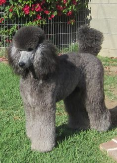 Noriko's Silver In Motion - Xena So pretty! Creative Grooming, Dog Grooming Tips, Poodle Grooming, French Poodles, Standard Poodles, Silver Poodle, Poodle Haircut, Poodle Cuts, Dog Haircuts