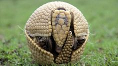 "nationalpostsports: "" Here is your soccer ball-shaped 2014 World Cup mascot: A picture released by A Caatinga NGO shows a Brazilian three banded armadillo (Tolypeutes tricinctus), aka Tatu-Bola in. Lovely Creatures, Weird Creatures, All Gods Creatures, Armadillo, Tatou Animal, Nature Pictures, Animal Pictures, Creature Of Habit, Extinct Animals"