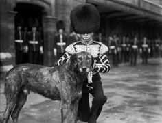 17th March 1928: The Irish wolfhound mascot of the Irish Guards is decorated with pieces of Shamrock on St Patrick's Day.
