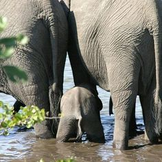 It takes baby elephants almost two years to learn how to use their trunks. Until then they need to drink with their mouths Save The Elephants, Baby Elephants, Elephant Love, Elephant Walk, Cute Animal Pictures, Animal Pics, Gentle Giant, African Elephant, Beautiful Creatures