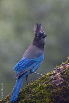 The most common bird around where i live is the Steller's Jay. Mendocino County, Northern California
