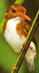 Madagascan Kingfisher.                                                                                                                                                     More